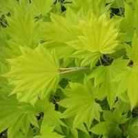 Acer japonicum AUREUM - Erable du Japon