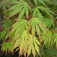 Acer japonicum SENSU - Erable du Japon