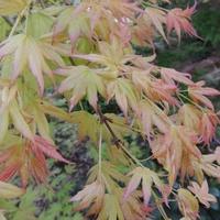 Acer palmatum MOMOIRO KOYASAN - Erable du Japon