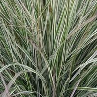 Calamagrostis acutiflora OVERDAM - Graminée