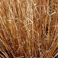 Carex buchananii RED ROOSTER - Graminée