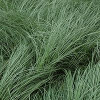 Carex comans FROSTED CURLS - Graminée