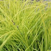 Carex elata AUREA - Graminée