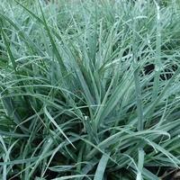 Carex flacca BLUE ZINGER - Graminée