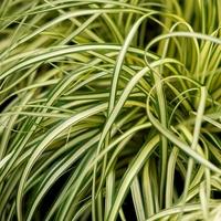 Carex oshimensis EVERGOLD - Graminée