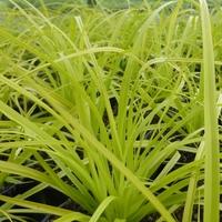 Carex oshimensis EVERILLO® - Graminée