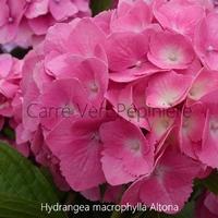 Hydrangea macrophylla ALTONA - Hortensia