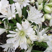 Agapanthus DOUBLE DIAMOND - Agapanthe