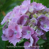 Hydrangea macrophylla AMETHYST - Hortensia