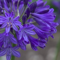 Agapanthus NORTHERN STAR - Agapanthe