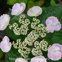 Hydrangea macrophylla CAMINO® - Hortensia