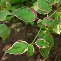 Cornus alternifolia PINKY SPOT® - Cornouiller des Pagodes