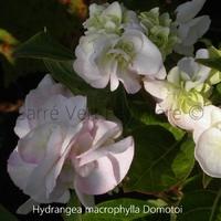 Hydrangea macrophylla DOMOTOI - Hortensia