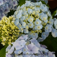 Hydrangea macrophylla HOMIGO® - Hortensia