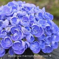 Hydrangea macrophylla HOPCORN® - Hortensia