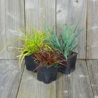 Graminées en godet de 9 cm - Lot de 3 Plants - Variétés au Choix