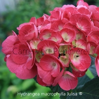Hydrangea macrophylla JULISA ® - Hortensia