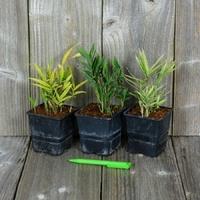 Pleioblastus - Bambou - Lot de 3 variétés au choix