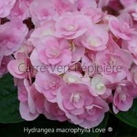 Hydrangea macrophylla LOVE ® - Hortensia
