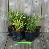 Pleioblastus - Bambou - Lot de 5 variétés au choix