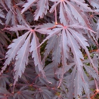 Acer palmatum BURGUNDY LACE - Erable du Japon