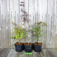 Erables du Japon - Acer palmatum - Lot de 3 Plants - Variétés au Choix