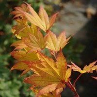 Acer japonicum AUTUMN MOON - Erable du Japon