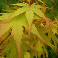 Acer palmatum BENI KAWA - Erable du Japon
