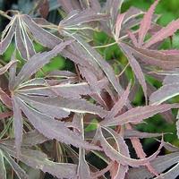 Acer palmatum BENI SHI EN - Erable du Japon