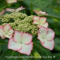Hydrangea macrophylla LOVE YOU KISS ® - Hortensia