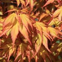 Acer palmatum KATSURA - Erable du Japon