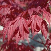 Acer palmatum NURESAGI - Erable du Japon