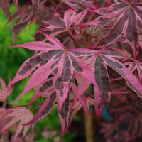Acer palmatum SHIRAZZ - Erable du Japon