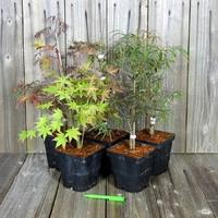 Erables du Japon - Acer palmatum - Lot de 5 Plants - Variétés au Choix