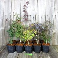 Erables du Japon - Acer palmatum - Lot de 10 Plants - Variétés au Choix