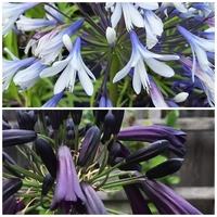 Duo Agapanthe - BLACK MAGIC / ENIGMA - Agapanthus