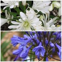 Duo Agapanthe - DOUBLE DIAMOND / TOM THUMB - Agapanthus