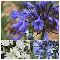 Trio Agapanthe - DOUBLE DIAMOND / PETER PAN / TOM THUMB - Agapanthus