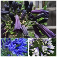 Trio Agapanthe - BLACK MAGIC / TWISTER / NAVY BLUE - Agapanthus