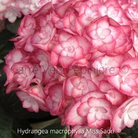 Hydrangea macrophylla MISS SAORI ® - Hortensia