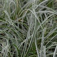 Carex conica SNOWLINE - Graminée