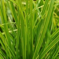Carex dolichostachya KAGA NISHIKI - Graminée
