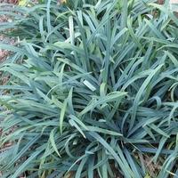 Carex laxiculmis BUNNY BLUE