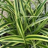 Carex morrowii VANILLA ICE - Graminée