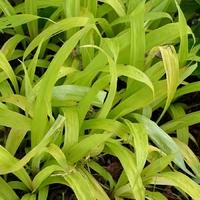 Carex siderosticha LEMON ZEST - Graminée
