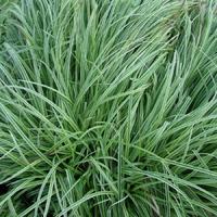 Carex x SILVER SCEPTER - Graminée