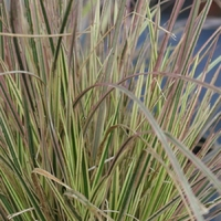 Deschampsia cespitosa NORTHERN LIGHTS