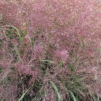Eragrostis spectabilis PURPLE LOVE GRASS - Graminée