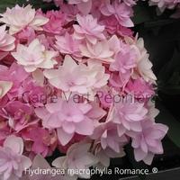 Hydrangea macrophylla ROMANCE ® - Hortensia