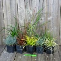 Graminées en godet de 9 cm - Lot de 10 Plants - Variétés aux Choix